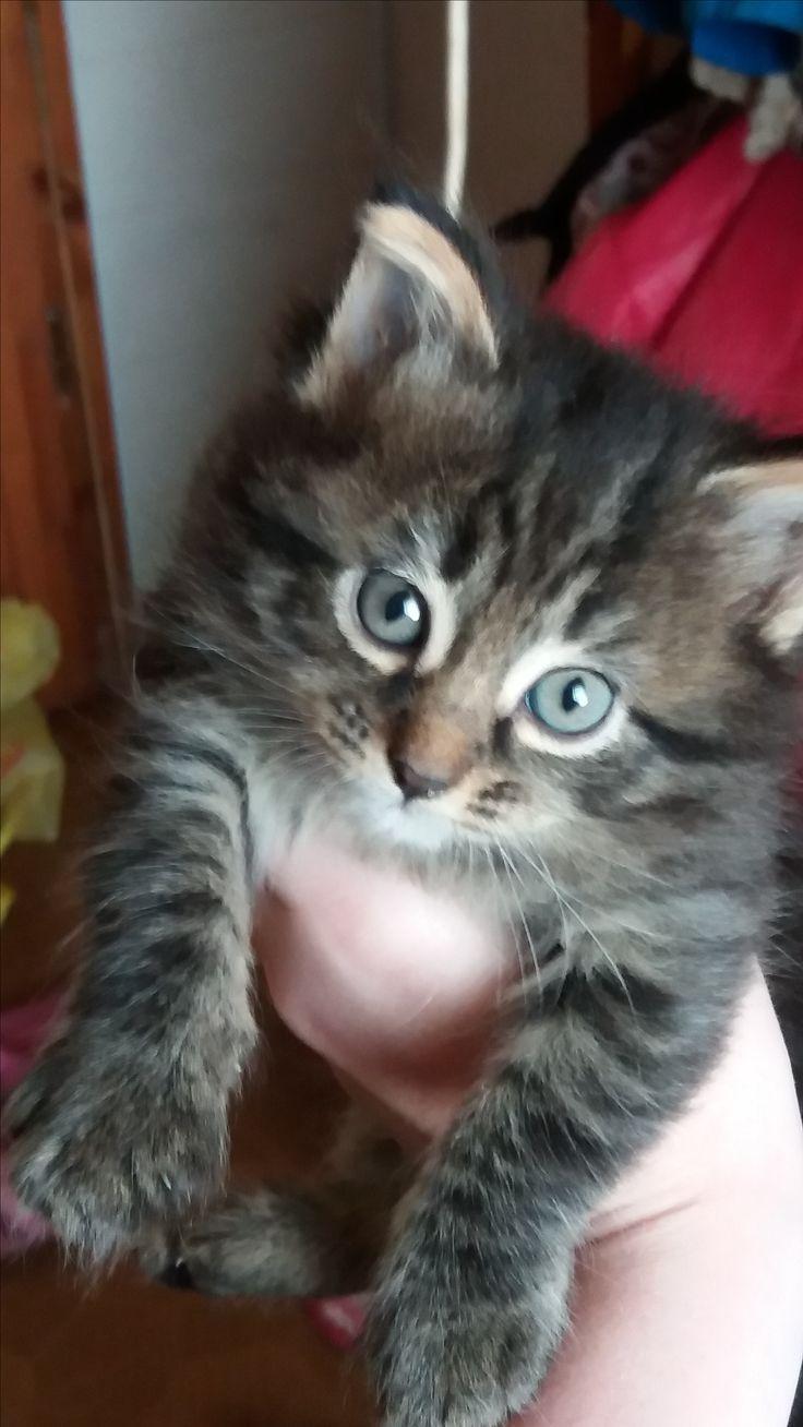 Отдам в добрые руки! милых,  ласковых котят!  Самара  У нас котята очень ласковые, добрые, игривые. Когда вырастают,  шерсть приобретает тигрового окраса. Они питаются у мамы, и едят корм для котят. Котята приучены к лотку.