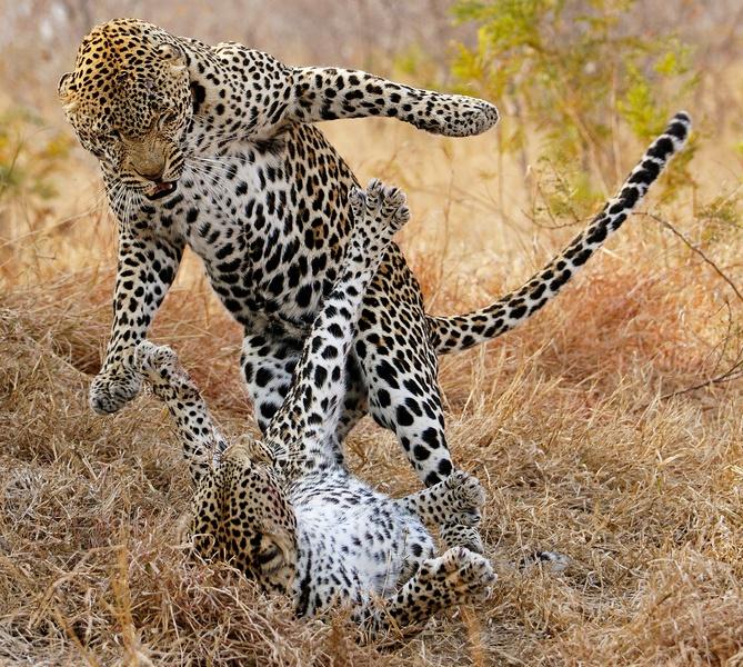 141 besten Leopards Bilder auf Pinterest  Tiere wilde Tiere und