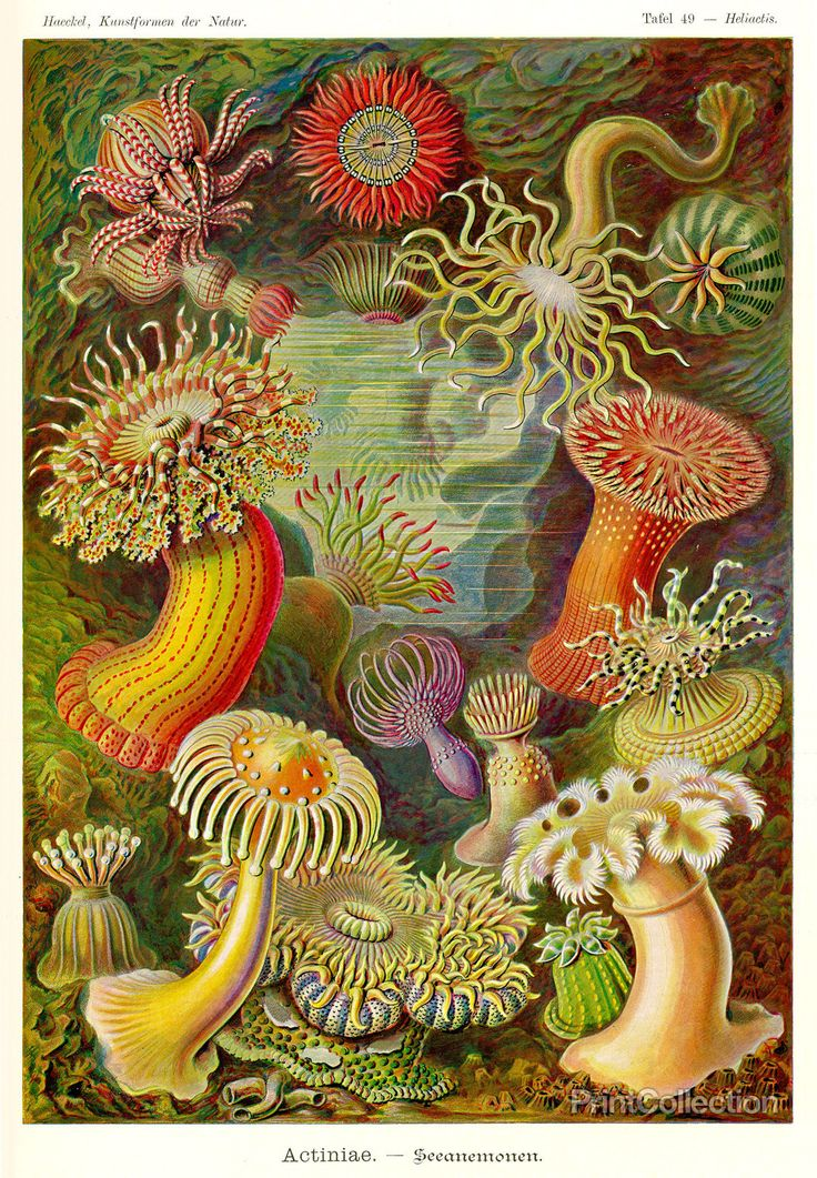 """""""Actiniae"""", from Ernst Haeckel's Kunstformen der Natur """"Art Forms of Nature, 1904. From the first edition of Haeckel's work on the new arts around 1900, in the style of Art Nouveau. Published in insta"""