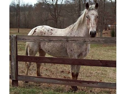 FRIENDLY Appaloosa trail horse for Sale.