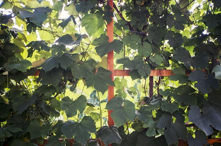 grapevine Olympus Mju II Fuji Superia 200 grape vine green film analog pointandshoot pns superia buyfilmnotmegapixels filmisnotdead 35mm 28
