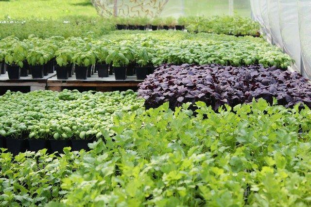 Świeże eko zioła z dostawą do domu, restauracji czy sklepu. - Biokurier - żywność ekologiczna i rolnictwo ekologiczne w jednym miejscu