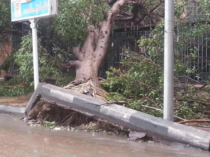 الاسكندرية - شجرة كبيرة و قديمة خرجت بجذورها في شارع السلطان حسين امام ميدان الخرطوم 8-1-2013