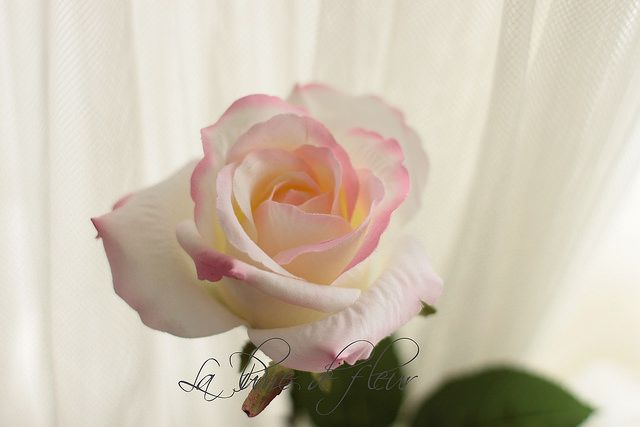 Silk Colombian rose - white with pink edges