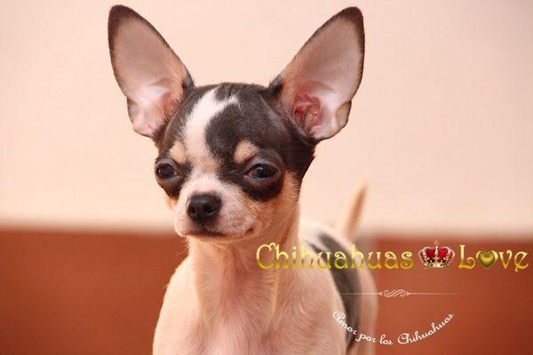 Chihuahuas Love - Hidrocefalia en Chihuahuas. Salud Raza Chihuahua.