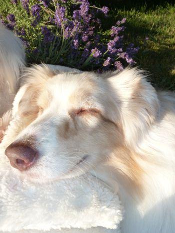 Relaxing & Dreaming - Organic Cuddly Dog Bed / Entspannen und Träumen - Bio Kuschel-Hundebett  #relaxing #relax #dog #dogs #lavender #entspannung #hund #hunde #öko