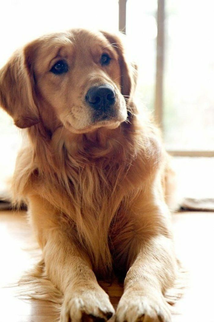 Pin By Amabel On Dog Retriever Puppy Dogs Golden Retriever Dogs