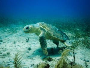 Nesting Gulf of Mexico loggerhead turtles face offshore risks