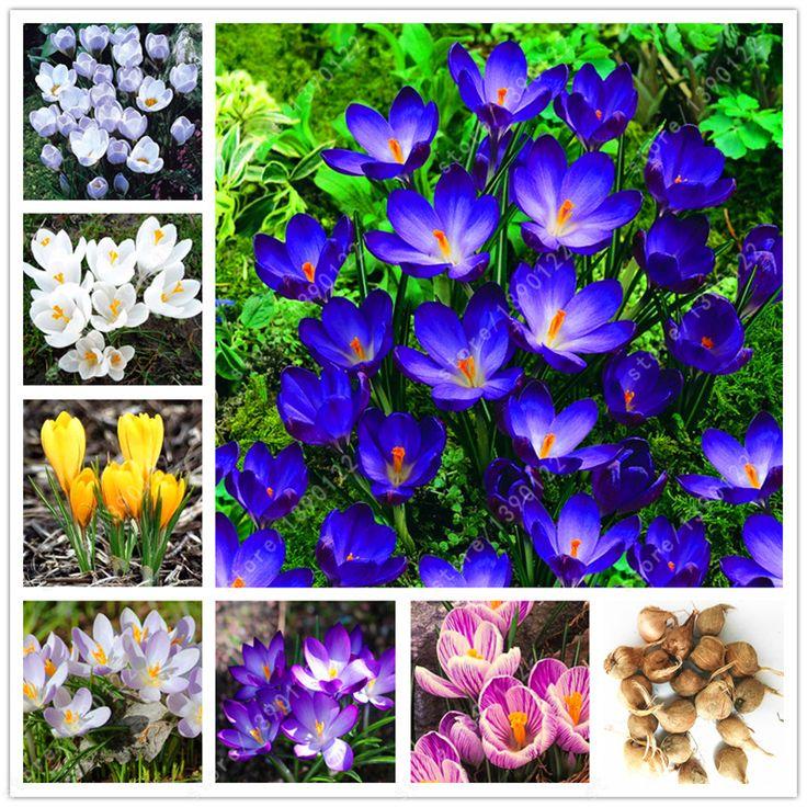 Vrai crocus safran ampoules, l'iran safran, (pas graines de safran), fleur ampoules, Heureux Joie Fleurs, bonsaï plante en pot pour la maison garden-2bulbs