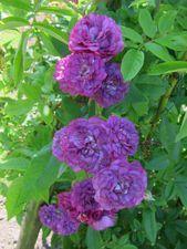 Rosa Veilchenblau  At/Coköynnös