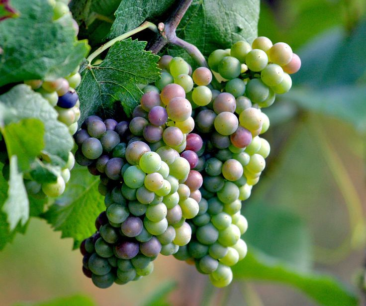 Growing Grapes In Your Backyard