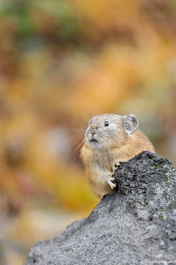 Who are you? Japanese Pika.  #gazing through nature's door