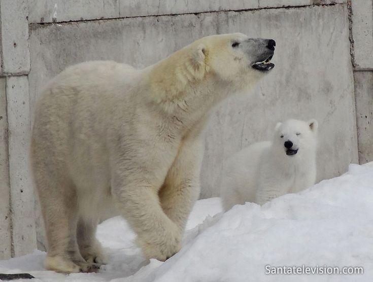 Bebê de Urso Polar do Jardim Zoológico de Ranua se divertindo com sua mamãe.