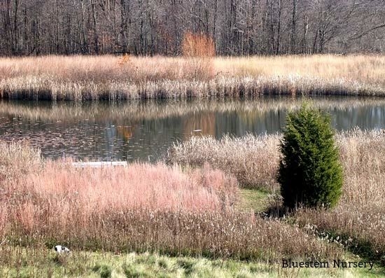 132 best images about grasses in the landscape on for Ornamental grasses for ponds