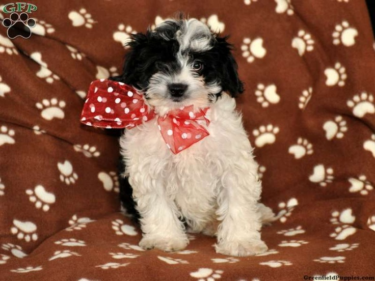 yorkie poo puppies for sale in pa crispo yorkie poo puppy for sale from gap pa fun stuff 6447