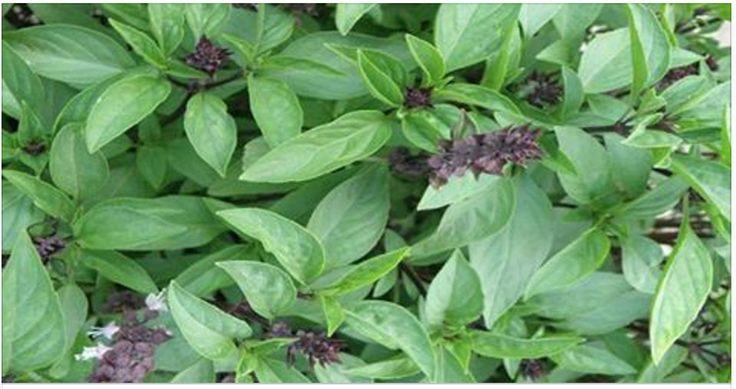 Use mais esta planta: ela limpa as artérias, protege coração, combate dores e melhora digestão! | Cura pela Natureza