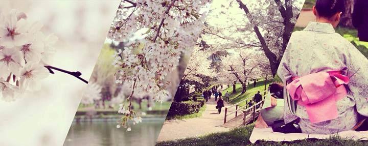 Hanami a Roma. I ciliegi (sakura) si trovano al parco del Lago dell'Eur e sono stati donati dalla città di Tokyo. La fioritura è prevista tra il 20 marzo e i primi di aprile.  Tutte le informazioni: https://www.facebook.com/events/210420679167829/