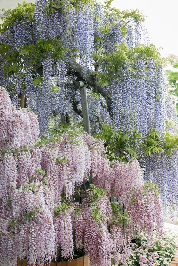 49 Best Wisteria Images On Pinterest Wisteria Purple