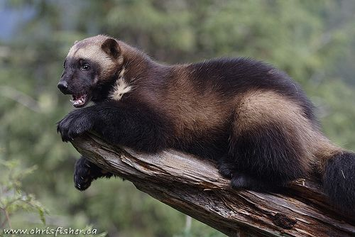 WOLVERINES......also known as Glutton, Carcajou, Skunk Bear, Nasty Cat.....found in isolated areas of Canada, North West USA, Northern Europe and Northern & Eastern Asia....a body length of 26 - 41 inches, a tail of 6.5 - 10 inches and a weight of 18 - 31 lbs....extremely powerful jaws that can crunch through frozen meat and bone....can travel up to 15 miles per day....the US state of Michigan is known as the Wolverine state