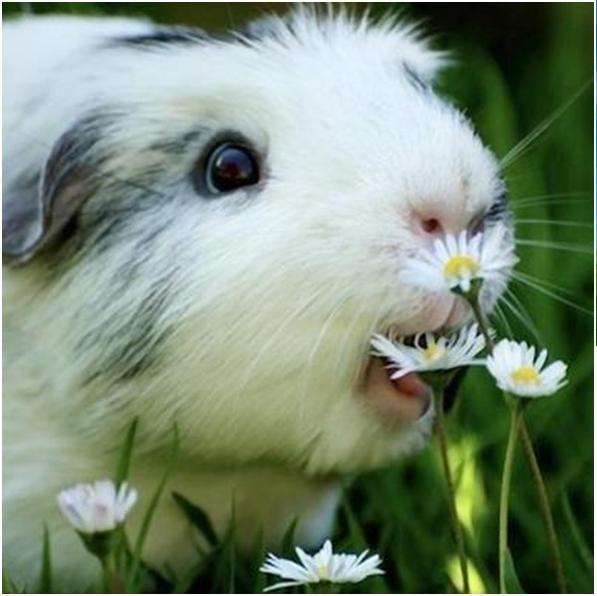 Guinea Pig Eating Flowers    OMNOMNOM
