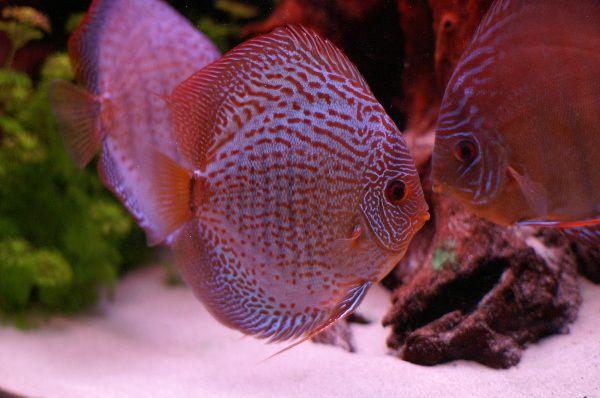 93 best images about aquariums and natural habitats on for Amazon aquarium fish