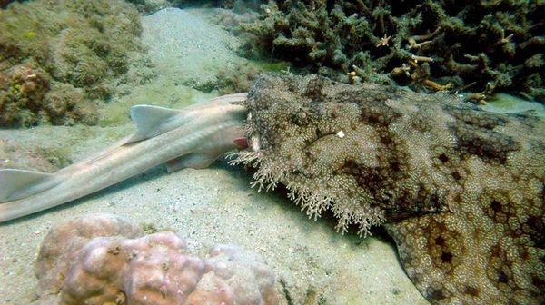 Sharks eating sharks