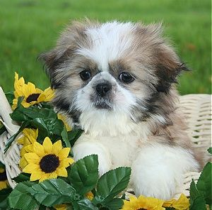 Shih Tzu Puppies | New Shih Tzu Puppies are good pets to adopt.