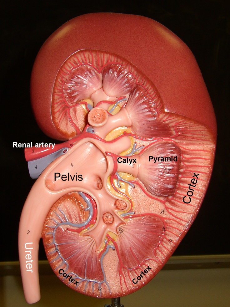 Kidney Cross Section Anatomy Diagram #human #body #health