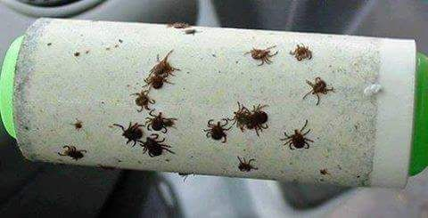 Use a lint roller after walking in the woods to find ticks on clothing
