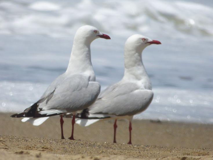 Pair of Gulls