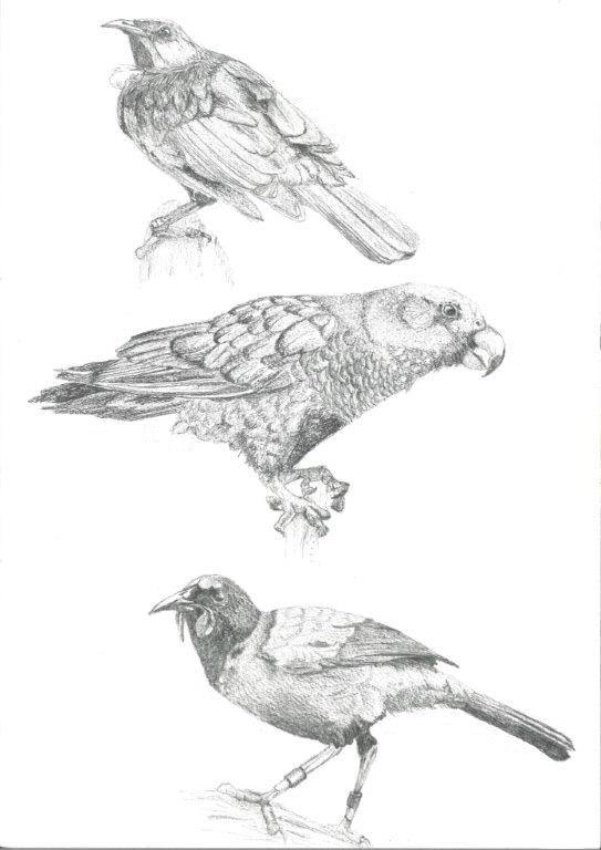 Tui, Kaka, Saddleback $25 Print, art, drawing www.petsbypencil.co.nz