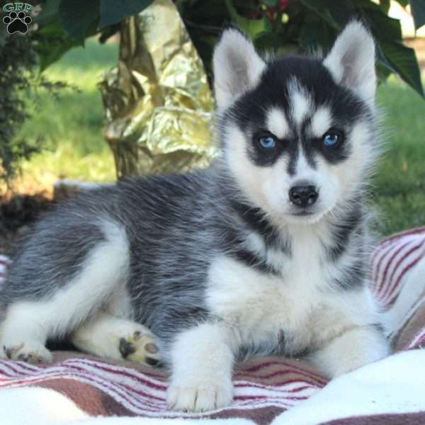 Lucy Siberian Husky Puppy For Sale In Pennsylvania Siberian