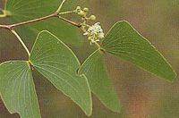 mopani leaves
