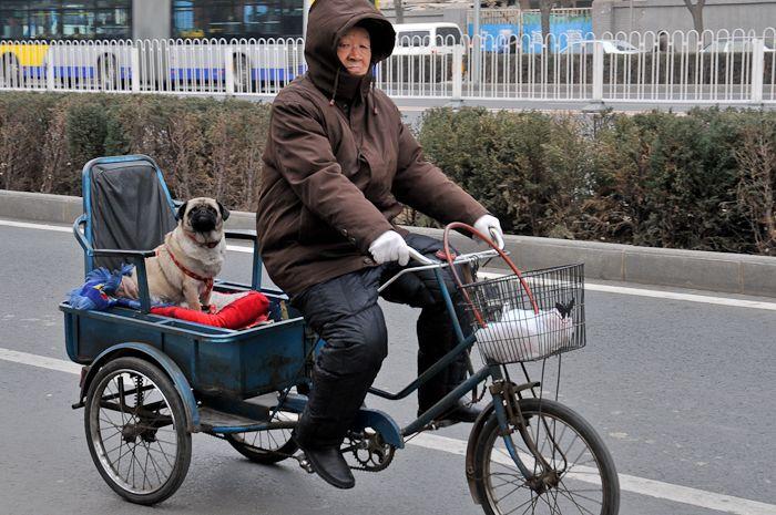 Hagestande - Beijing - Pekinese
