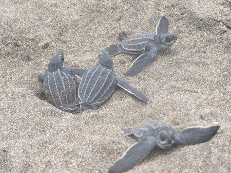 Turtles hatching, Sint Eustatius