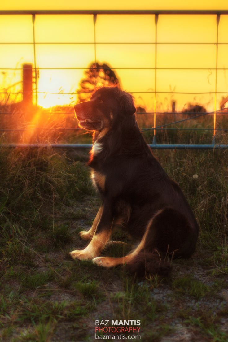 Dog in sunset by Baz Mantis Photography