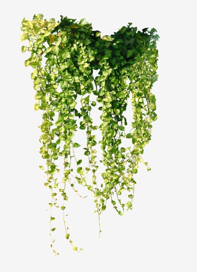Download This Transparent Vines Vine Vine Clipart Vines Vine Png Image And Clipart For Free Pngtree Provides M Photoshop Rendering Vines Plant Illustration