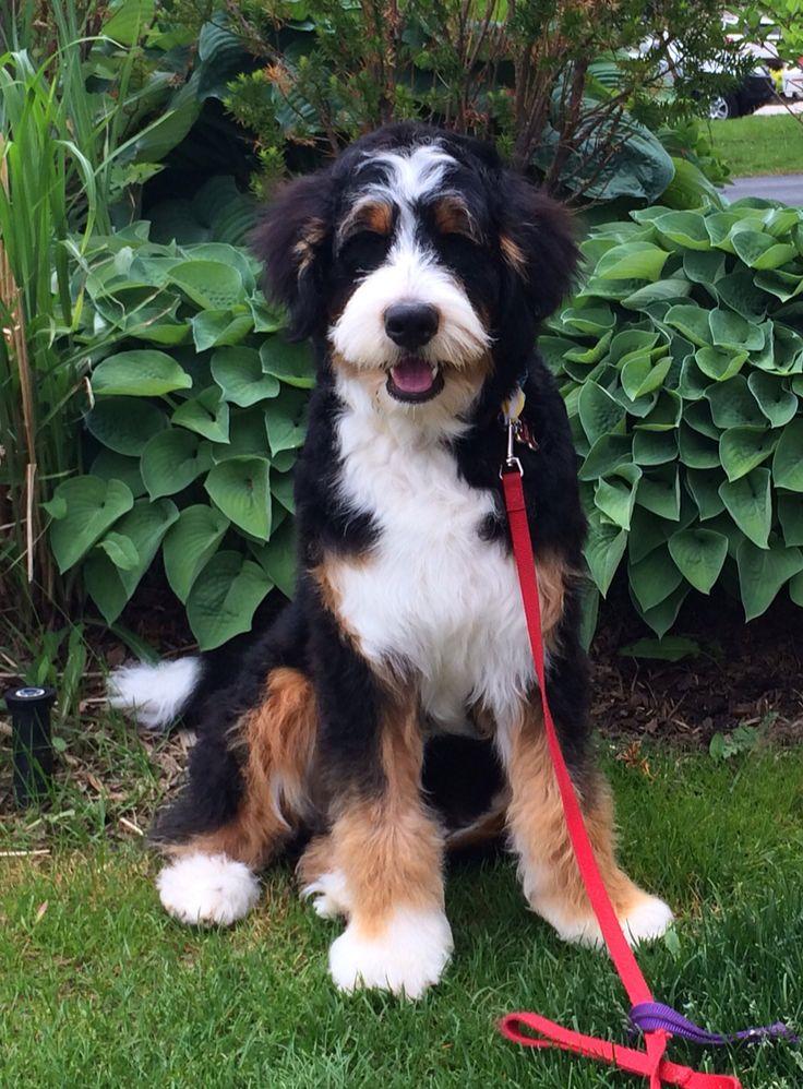 59 best Dogs - Bernedoodle images on Pinterest ...
