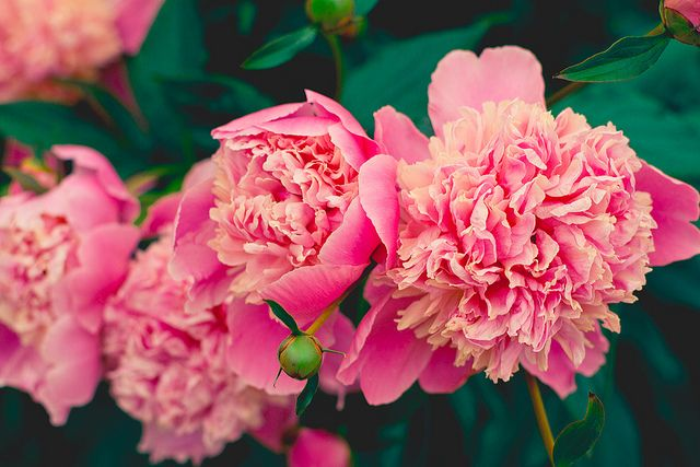 Pink Peonies…these are GORGEOUS! If only I knew the name of the color...
