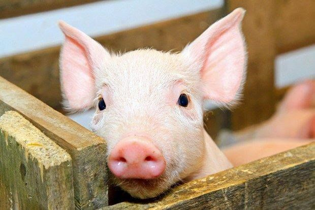 I beg you to look differently at food animals. Once you really see them you will notice that they do have a voice. It is in their eyes and their smiles, their cries and their body language.They are not commodities, they are sentient thinking individuals,who are violently slaughtered in the billions.
