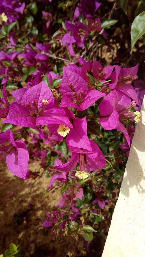 Day 31,Ανώνυμος Βικιπαιδιστής: Μπουκαμβίλια η λαμπράBougainvillea spectabilis