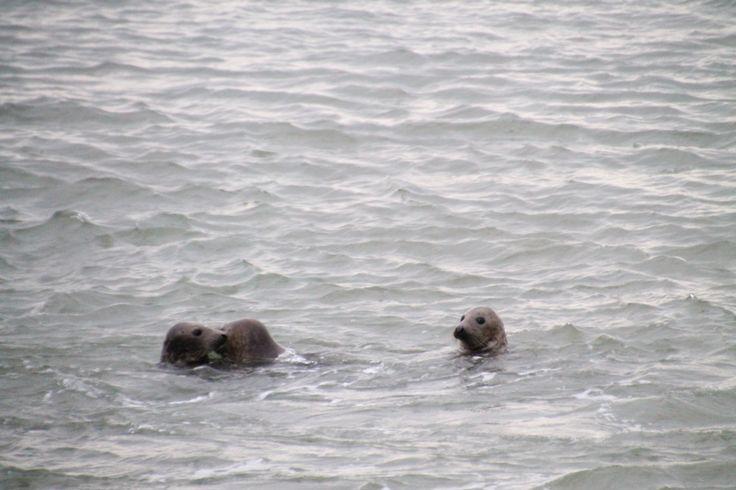 Zeehonden bij de Brouwersdam•