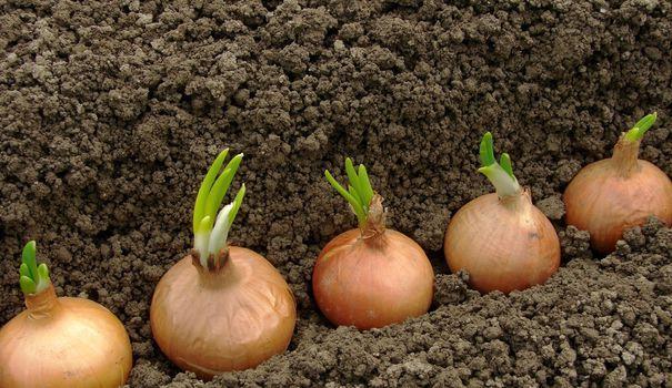 Planter des oignons dans le jardin est facile à faire. Ils sont réputés meilleurs, en goût comme en conservation, que ceux du commerce. Pour réussir sa plantation d'oignons, il faut juste suivre certaines règles et connaître quelques astuces.