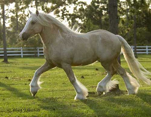 American Gypsy Horses - Golden Chancelot