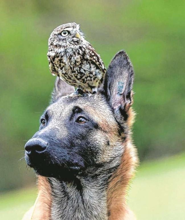Schäferhund Ingo und Steinkauz Napoleon: Tierisch beste Freunde