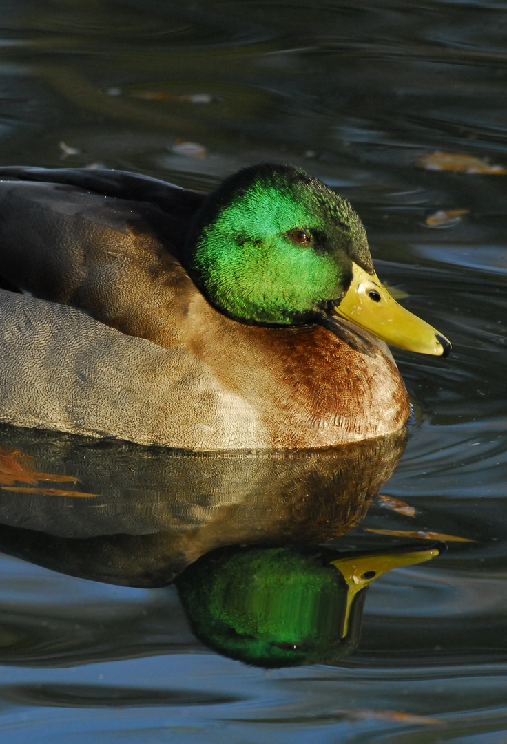 37 best mallard ducks animal art portraits photographs