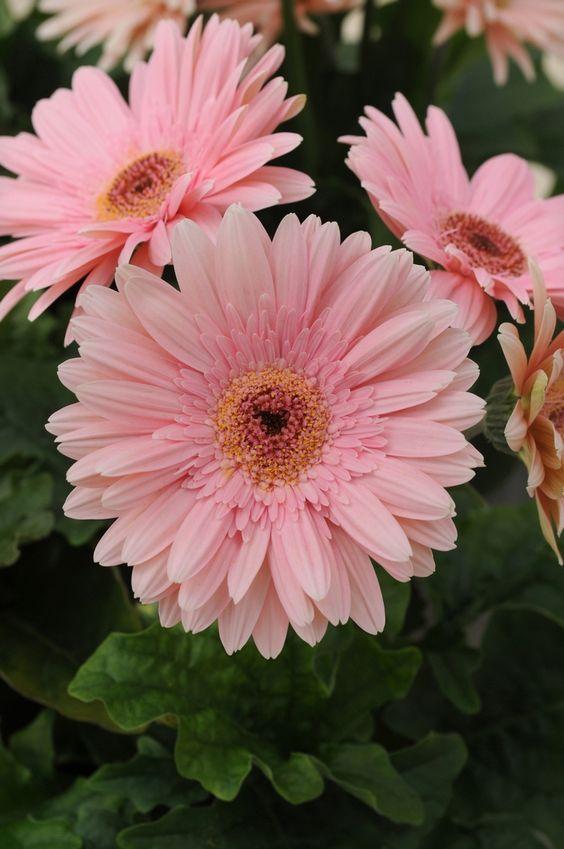 38 besten Gerberas Bilder auf Pinterest | Schöne blumen, Blumen ...