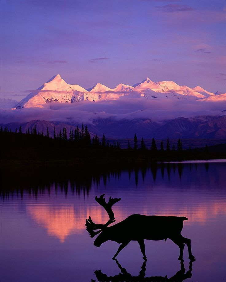 Caribou at dusk, Denali National Park, Alaska
