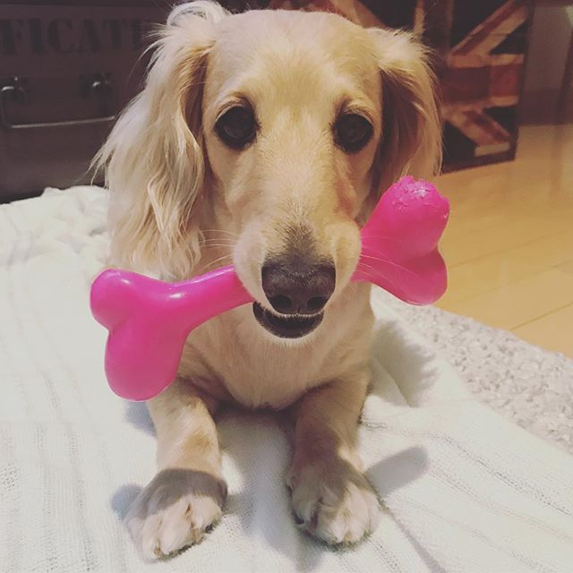 . ❤️が似合うw . #親バカ #ダックス #ダックスフンド #わんこ #わんちゃん #愛犬 #dog #dogstagram #love #lovedog #dachshund #dachs #dachshundgram #dachshundlove #photo #kyounodachs #todayswanko #사진 #귀여워. #개 #all_dog_japan #甘えん坊 #天然娘っ子