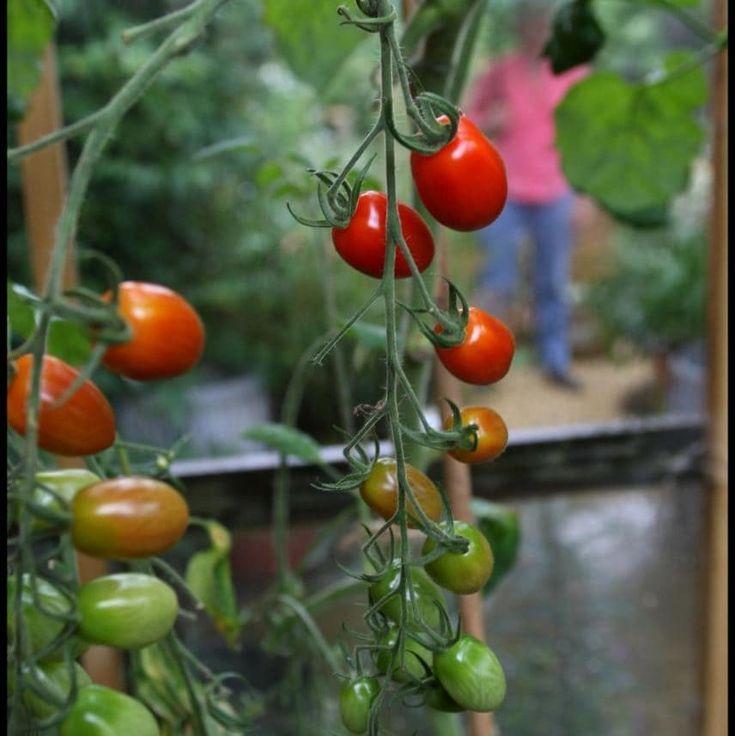 Helen Yemm: Top Tips For Patio Tomatoes